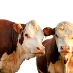 CME feeder cattle futures & options trading