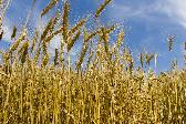 wheat commodities trading broker online options